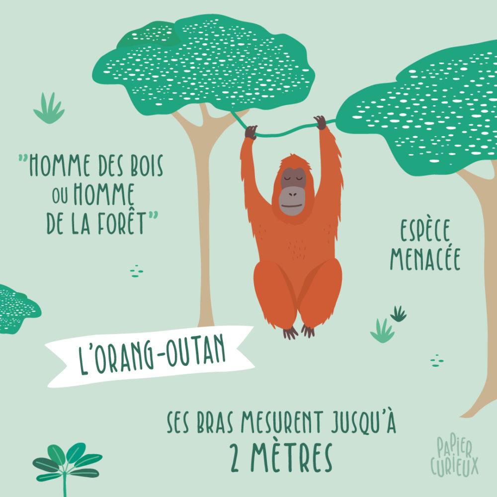 découvrez orang-outan singe indonésie